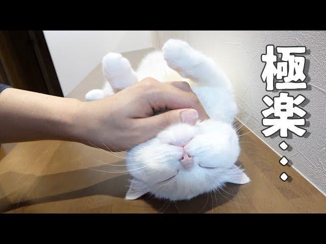 飼い主のあご撫での妙技にたまらずへそ天してしまう猫!