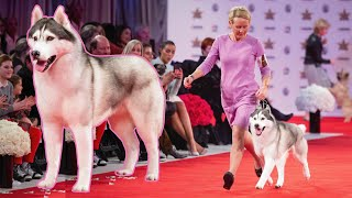 nick the siberian husky wins the 4th annual beverly hills dog show presented by purina
