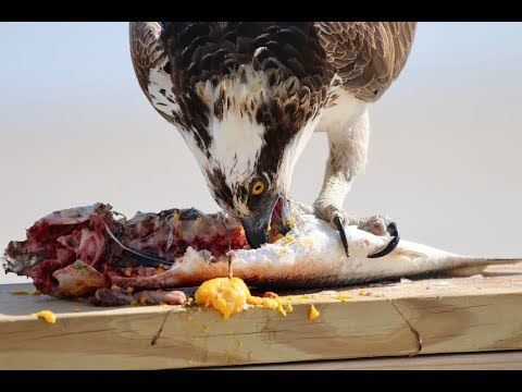 National Geographic Moment - Osprey Eats Fish