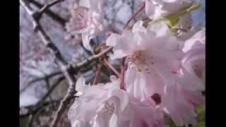 桜    みえ   sakura  mie
