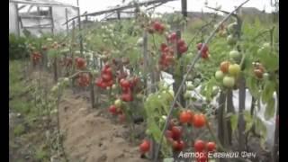 видео ФИТОФТОРОЗ - Эпидемия началась! Обрабатываем вместе со мной помидоры, огурцы от фитофторы!