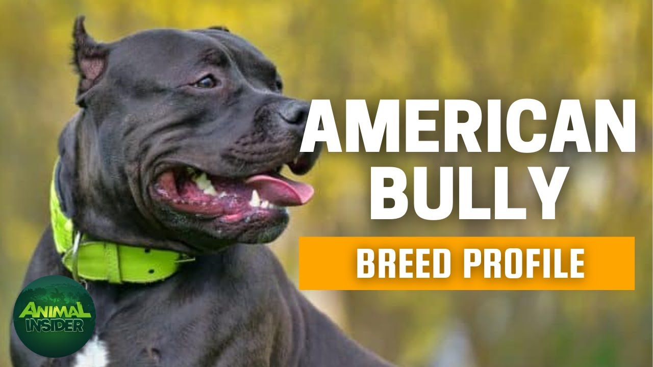 American Bully Dogs 101 - A Macho Yet Loving Canine Companion
