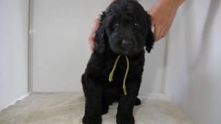 ミックス犬大型犬種の子犬販売情報。詳細はhttp://dog-lien.com/puppy/508.