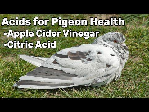 acids-for-pigeon-health---pigeon-tips