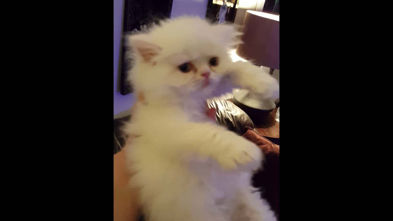 Tiny teacup doll face persian kittens for sale June 7 2016 call