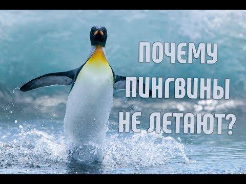 Почему пингвины не умеют летать? | Почему у них смешная походка?