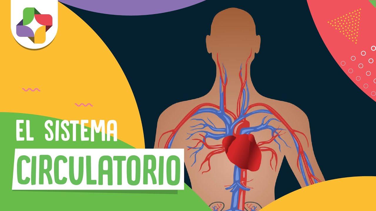 Circuito Circulatorio : El sistema circulatorio biología educatina youtube