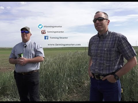 Winter Wheat grazing project with Scott Lehr