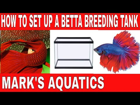 HOW TO BREED BETTA FISH PART ONE. SETUP .