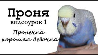 """Учим попугая по имени Проня говорить, видеоурок 1: """"Пронечка хорошая девочка"""""""