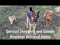German Shepherd and Golden Retriever Befriend Kitten
