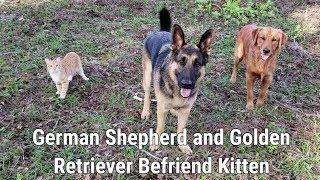 German Shepherd and Golden Retriever Befriend Kitten
