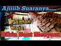 Suara Perkutut Lokal Ajiiiib Telak Bikin Saling Saut Menyaut  Mp3 - Mp4 Download