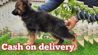 Long coat German shepherd puppies for sale