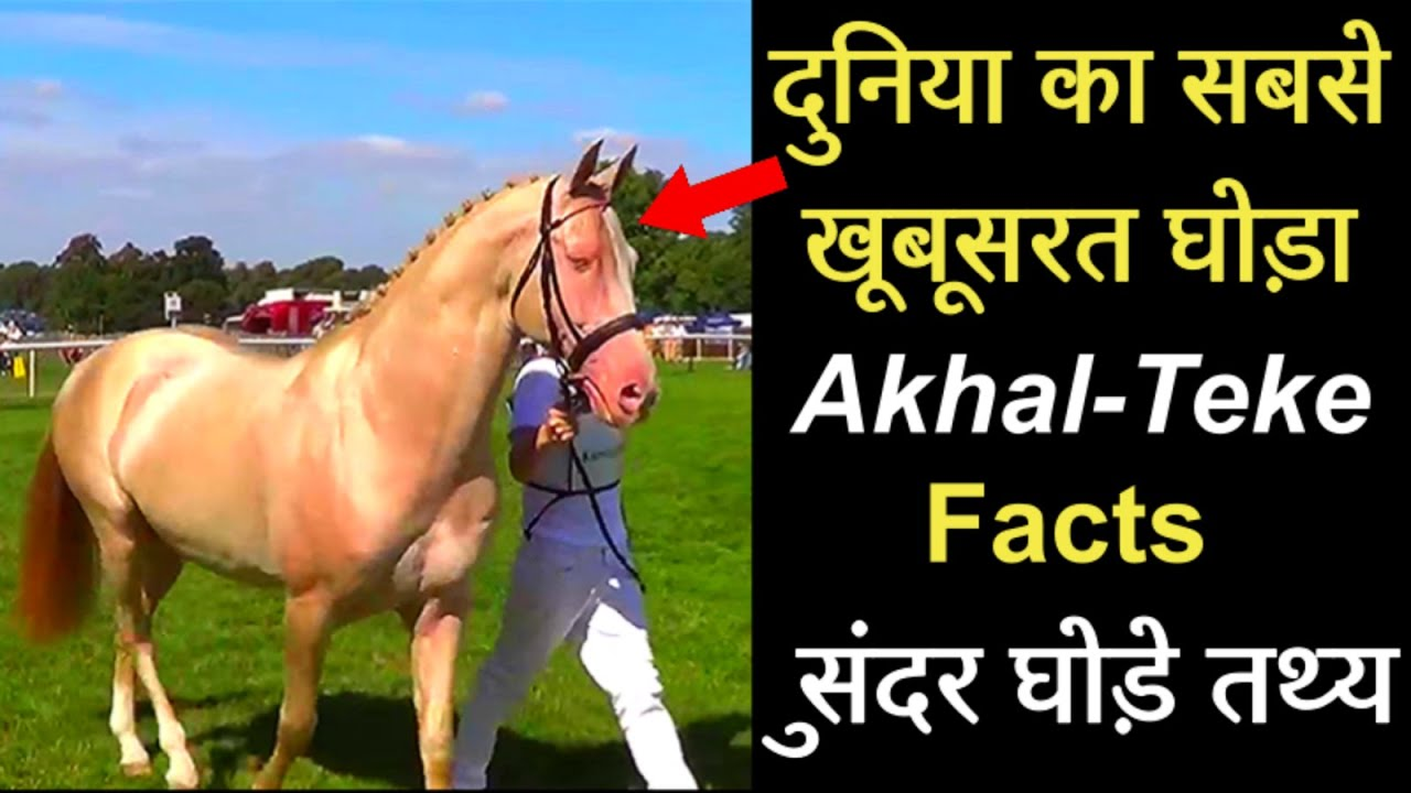 Most Beautiful Horse In The World | Akhal-Teke Beautiful Horse Facts | Akhal-Teke Facts