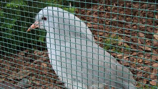 Kagu : Weltvogelpark Walsrode