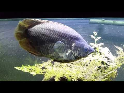 Spotted African Leaf Fish (Ctenopoma Acutirostre)