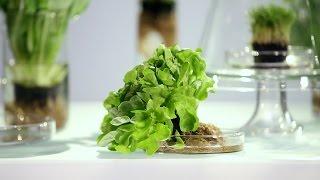 Зелёные салаты: стоит ли людям есть траву?!
