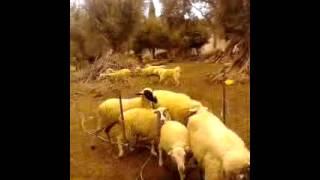 Τσοπανόσκυλο ελληνικό μαζεύει τα πρόβατα!