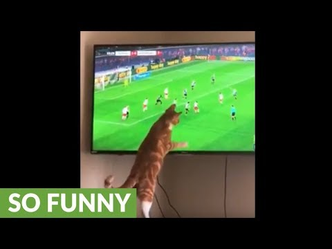 Soccer-loving cat enthusiastically watches game on TV