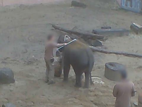 Schock-Bilder aus Zoo Hannover: Tierpfleger schlagen Jungtiere mit Elefantenhaken