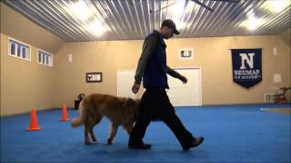 Tucker (Leonberger) Dog Training Video