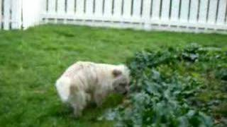 Logan-crusa-1 Year Old Cairn Terrier-algona, Wa (2)