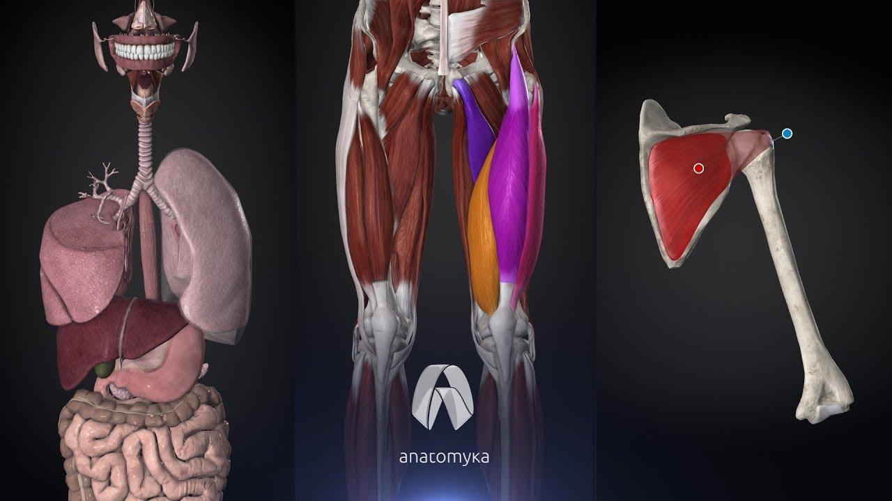 ANATOMYKA l Anatomy visual tools
