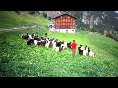 Goats Making Bell Music in Swiss Alps