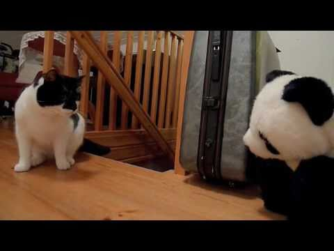 jarvis the cat vs panda the bear