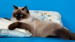 Невская Маскарадная - красивая и своенравная кошка