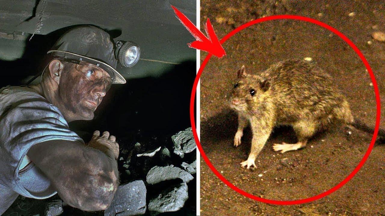 كان عامل المنجم يطعم هذا الفأر يوميا ، ولم يتخيل قط ان ينقذ الفأر حياته يوما ما