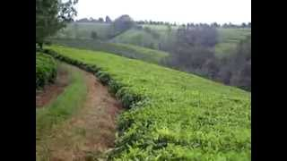 On a tea farm in Kenya