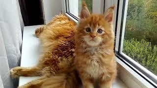 Красный солид (d) кот Мейн-кун 1,5 месяца