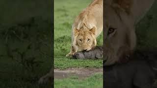 Unfiltered nature 🦁 King lion vs wild boar