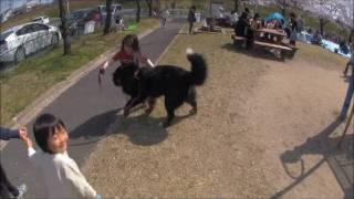 大型犬のバーニーズ と 公園の皆さん。
