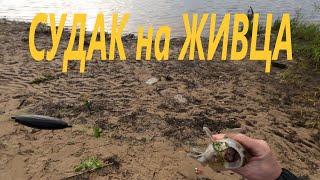 Судак на живца Рыбалка на донки с берега Видеоотчет Май 2021
