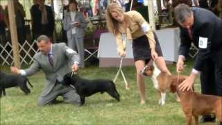 Montgomery County Kennel Club 2013 - Staffordshire Bull Terrier. Dogs