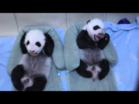 Toronto Zoo Giant Panda Cubs at 6 Weeks!