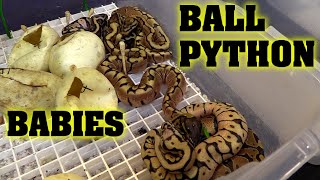 Brand new BABY BALL PYTHONS out of the egg!! Fresh hatched!!