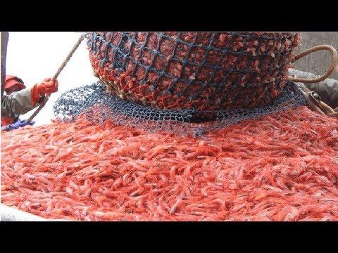Amazing Shrimp Fishing..You Won't Believe That How Many Shrimp, Fast Shrimp Processing Machine