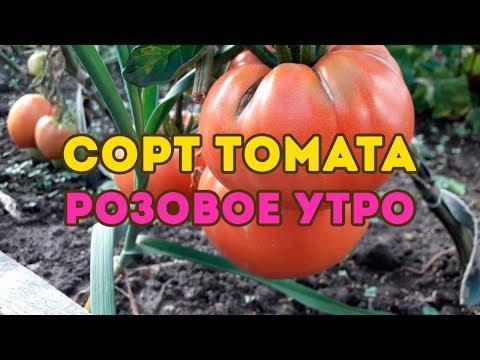 Сорт томата Розовое утро! Полный видео обзор сорта