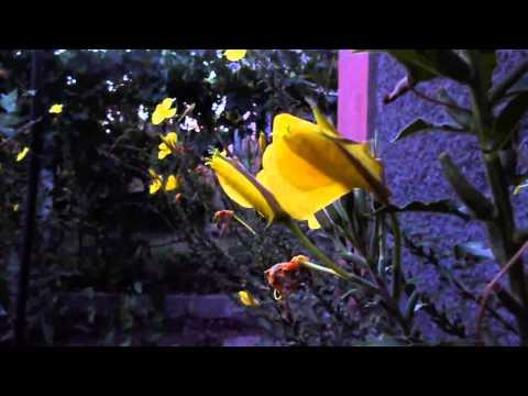 Энотера фото, выращивание и уход Садовые цветы и