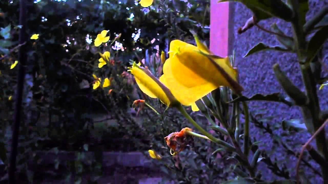 Цветы хойи собраны в зонтики, имеют разную форму, но у всех есть пять округлых лепестков. Иногда в. Фото, название, краткое описание, купить.