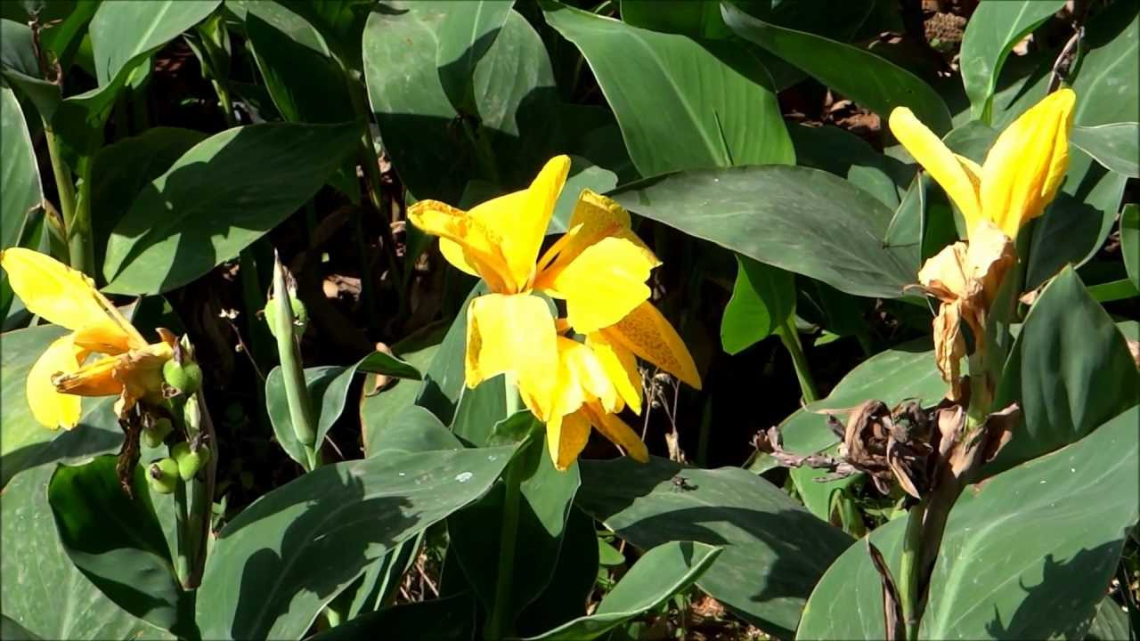 Beautiful Canna Flower Canna Lily Yellow Color Youtube