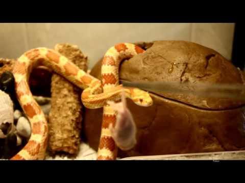 Yılanın Fareyi Yeme Anı (The Snakes Eat Mice Memories) (2)
