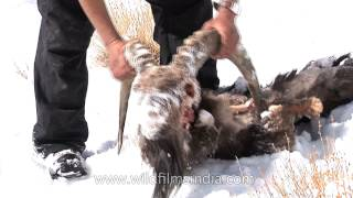 Dead Himalayan Ibex found in the mountains - Snow Leopard kill?