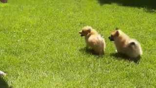 Gambar cover Fur and Paws - Purebred Pomeranian Puppy Caramel and Cinnamon