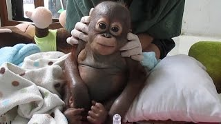 Abused Baby Orangutan Recovering