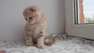 Котенок (мальчик) скоттиш-фолд SFS c22 Кроля+Услада - ч.2